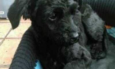 黑色泰迪狗狗造型图片 纯黑色泰迪怎么打扮好看