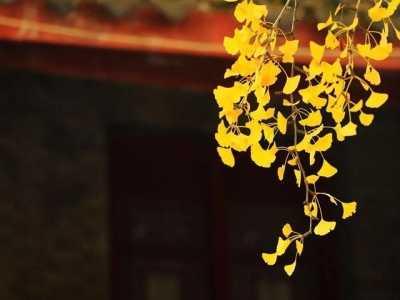 寺庙里的银杏树图片 那你知道为什么中国寺院多种银杏树吗
