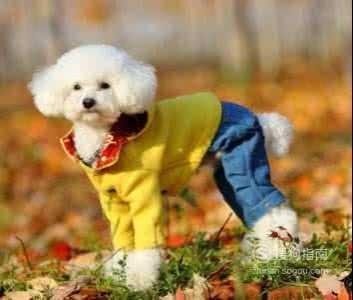 泰迪犬美容造型 泰迪美容图片